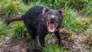 Tassie devils adapting to coexist with cancer