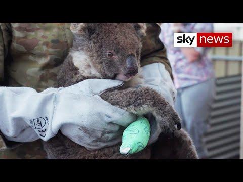 Australia Bushfires: Wildlife clings to life