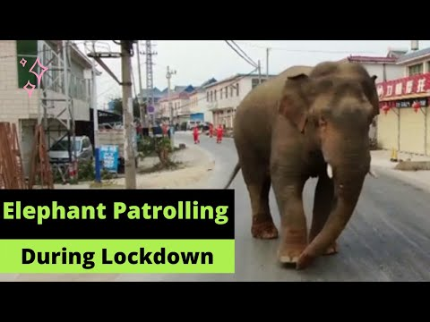 Elephant Patrolling On Street During Lock Down l Wild Elephants Enjoying Empty Streets On Lockdown